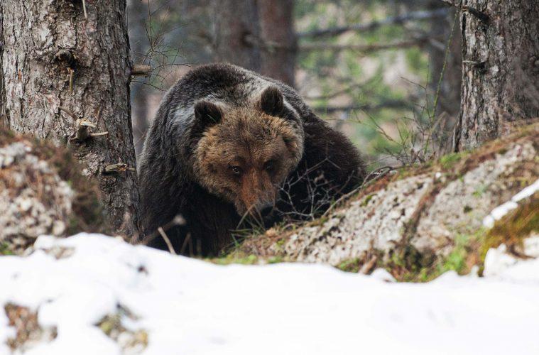 riserva_naturale_regionale_monte_genzana_alto_gizio_antonio_di_croce_orso_bruno_marsicano